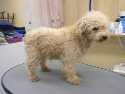 welsh terrier poodle mix before after gallery 798